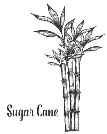 サトウキビの茎枝と葉はベクトル手描きイラストです。サトウキビ黒白い背景の上。彫刻スタイル。  イラスト・ベクター素材