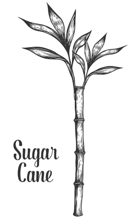 Sugar cane stem branch and leaf vector hand drawn illustration. Sugarcane Black on white background. Engraving style.