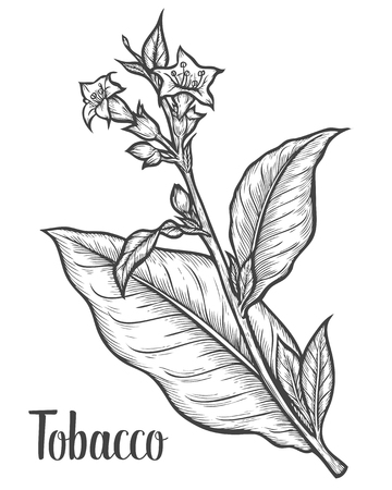 Tobacco plant, leaf, flower. Ingredient for smoking pipe. Tobacco Hand drawn vector engraved etch ink illustration. Natural organic botanical drawing. Isolated sketch black on white background. Ilustracja