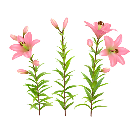 Pink lilies with green stem and leaves. Set of three realistic flowers. Colorful vector illustration. 矢量图像