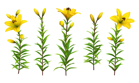 lilium: Yellow lilies with green stem and leaves. Set of realistic flowers. Colorful floral vector illustration.