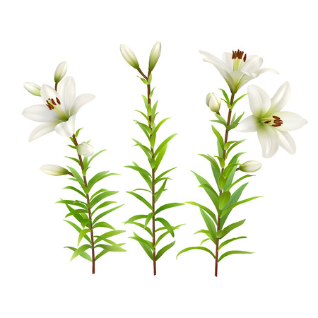 lilium: White lilies with green stem and leaves. Set of realistic flowers. Colorful floral vector illustration.