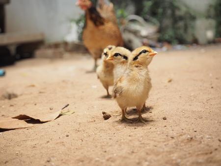 pollitos: Familia de pollo, pollos, gallina, campo, Tailandia