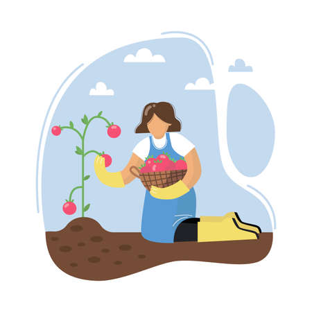 A young woman collecting tomatoes. Female harvests tomatoes. Woman with basket. Gardening concept. Vector illustration. Illusztráció