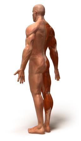 deltoid: Human anatomy Stock Photo