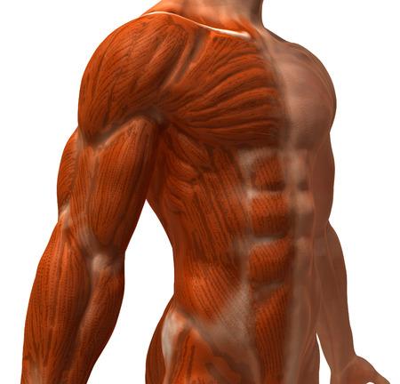 Menselijke anatomie Stockfoto - 81852914