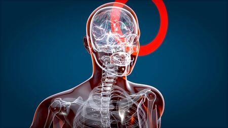 Human and brain xray, human anatomy, 3D Illustration Archivio Fotografico - 136967286