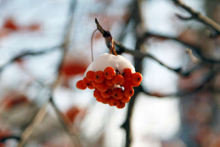 ash berry: ash berry covered with snow