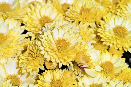 group of yellow chrysanthemums to the summer sun photo