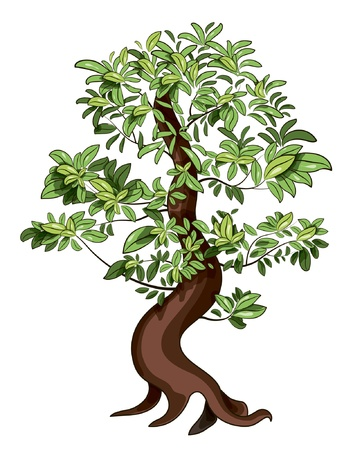bonsai: Ficus Bonsai