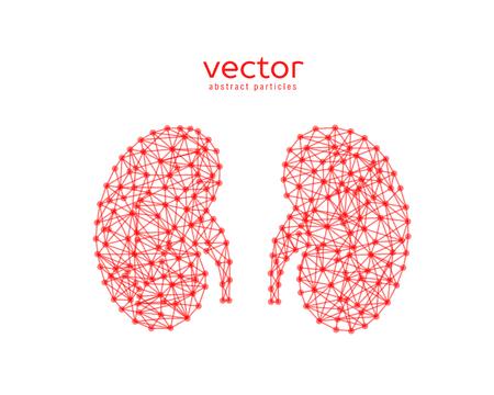Resumen ilustración vectorial de los riñones humanos sobre fondo blanco.