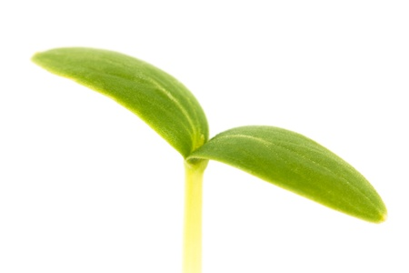 Green young plant on a white background. Stock Photo - 21057206