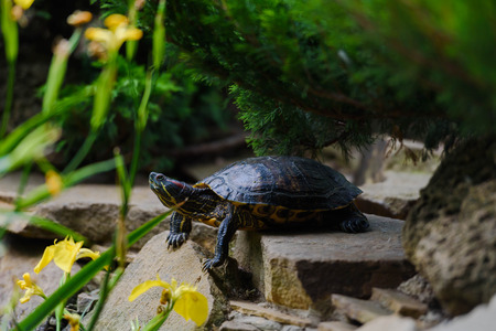 The red-eared slider rests on stone Stock Photo