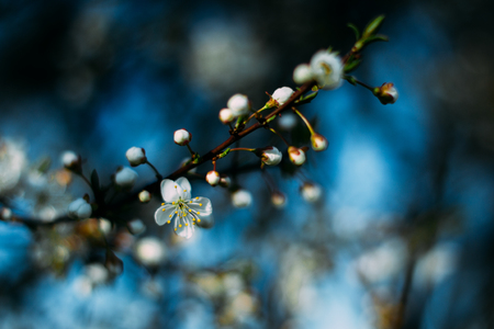 Fruit tree blossoms. Spring beginning background. Bokeh Standard-Bild