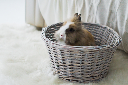 Cute rabbit, small easter bunny, domestic pet with long ears and fluffy fur coat sitting in wicker basket Standard-Bild