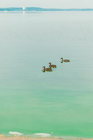Ducks swim in the blue water. Beautiful light Standard-Bild