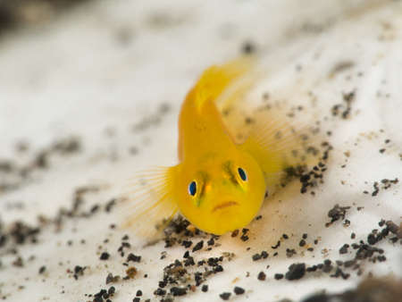 goby: Yellow goby on white background Stock Photo
