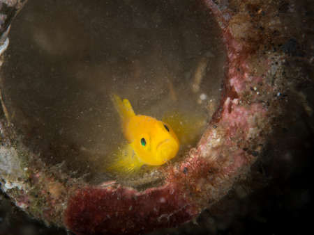 goby: Yellow goby in bottle