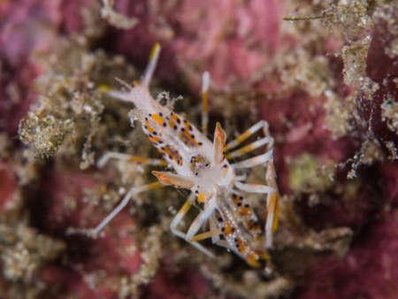 tiger shrimp: Tiger Shrimp on coral Stock Photo