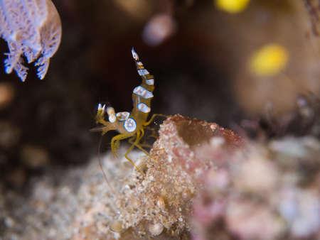 squat: Squat Anemone Shrimp Stock Photo