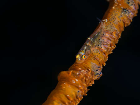 goby: Goby on whip coral Stock Photo