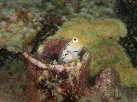 goby: Goby shows itself from his hole Stock Photo