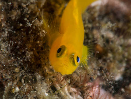 goby: yellow goby fish Stock Photo