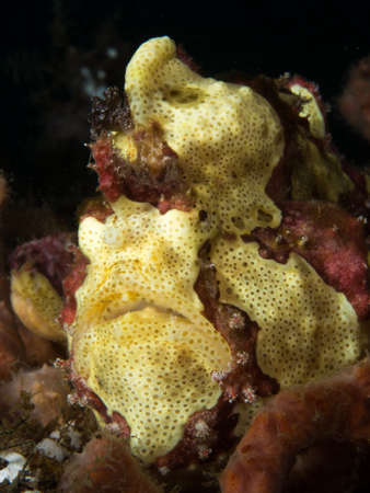 maculatus: yellow frogfish Stock Photo