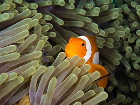 nemo: nemo fish in anomone