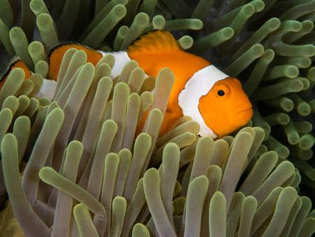 nemo fish in anomone