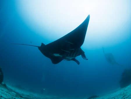 Black manta ray in raja ampat Stock Photo