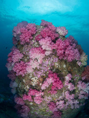 softcoral: pink soft coral at Lipe in Thailand Stock Photo