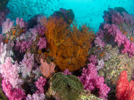 softcoral: Big pink soft coral at Lipe in Thailand
