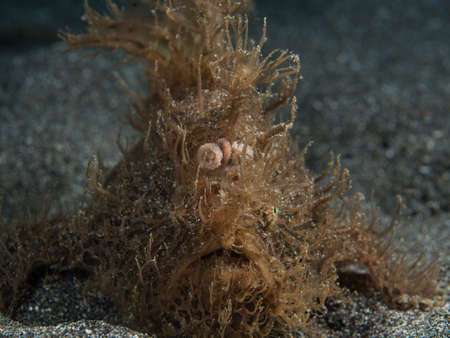 Hairy frogfish at Lembeh in Indonesia