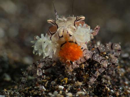 pom pom crab with egg Stock Photo