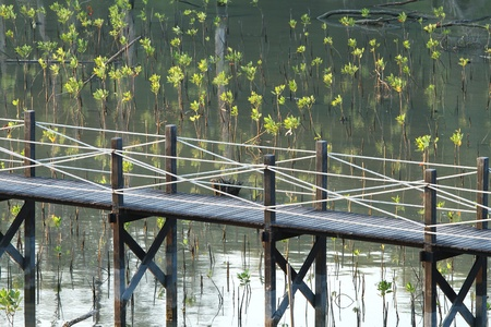 rope bridge: View of mangrove conservation center in Thailand