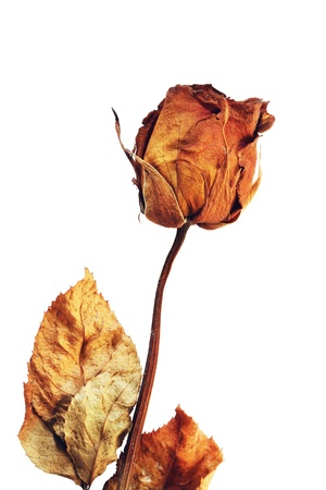 fade: Dried rose isolated on white background