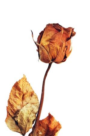dode bladeren: Droge roos geïsoleerd op witte achtergrond