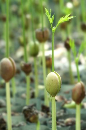 germinación: Germinan las semillas de árboles forestales en el vivero