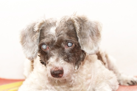 Old blind dog with cataract eyes