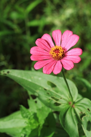 Pink zinnia flower in the garden photo