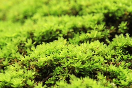 Closeup of green moss in the forest photo