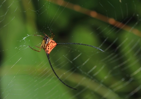 arcuata: Curved spiny spider (Gasteracantha arcuata) in the forest