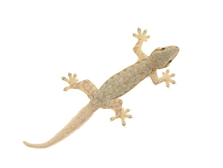 Lizard isolated on white background photo