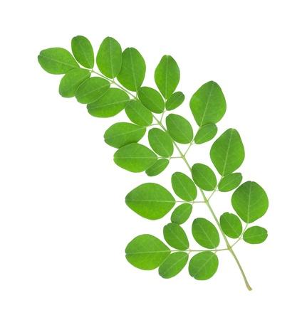 Moringa oleifera leaves isolated on white background 스톡 콘텐츠