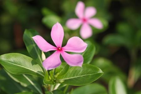 minors: Vinca minor flower (periwinkle) in the garden