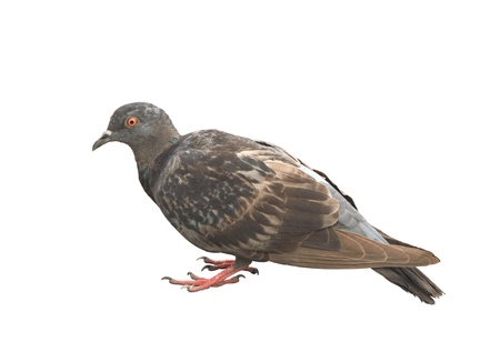 h5n1: Sick pigeon isolated on white background Stock Photo