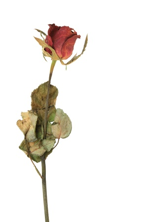 Dried rose isolated on white background photo