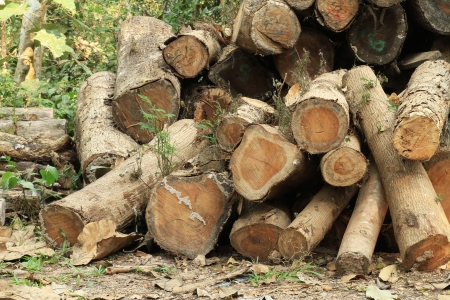 sawed: Wood log in the forest