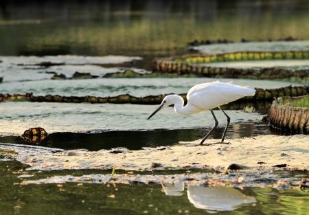 fished: Little egret fished at morning sunrise